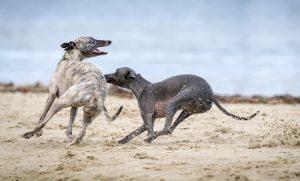 Grey Hounds Running