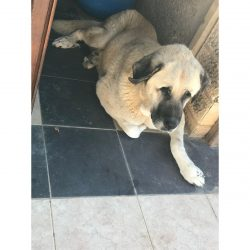 Sultan - Very Old Age, Very Big Size Breed, Female Dog. Rescued by Rescue Strays-24